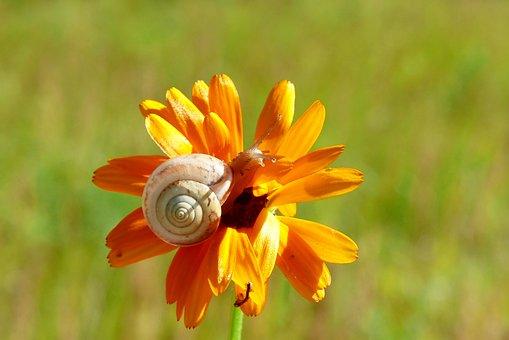 Snail, Molluscs, Flower, Animals, Nature