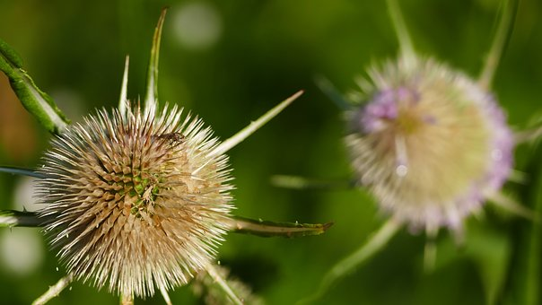 Nature, Forest, Meadow, Wayside, Thistle, Spur, About