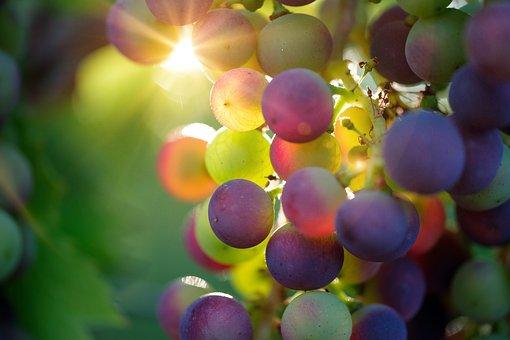 Grapes, Sun, Sunbeam, Fruit, Vines, Rebstock, Wine