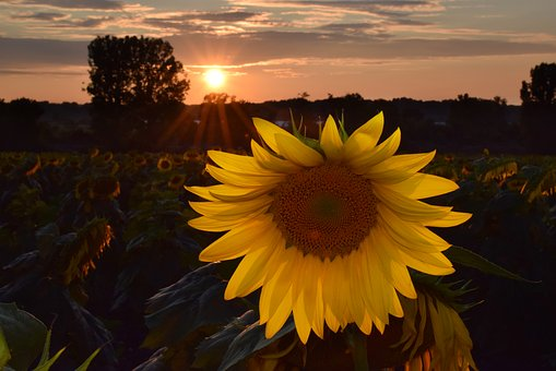 Sunflower, Sunflowes, Yellow, Flower