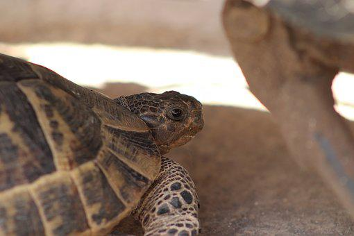 Tortoise, Animal, Natural, Tortoise-shell, Reptile