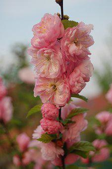 Church Flower, Plant, Tree, Spring, Nature, Pink