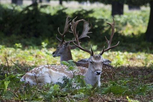 Fallow Deer, Deers, Richmond Park, London, Uk, Park