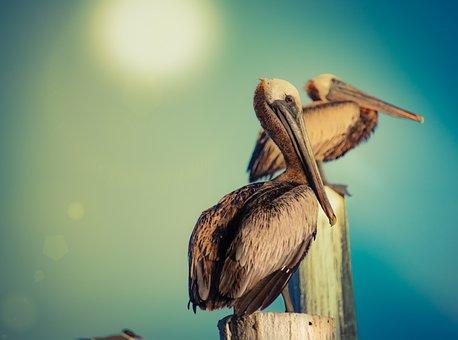Pelicans, Pelican, Water Bird, High Noon, Sun, Bright