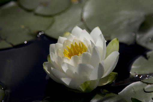 Water Lilly, Flower, Pond