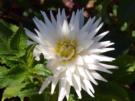 White Flower, Dalia, Flowers, Perfume, Dahlia Pompom