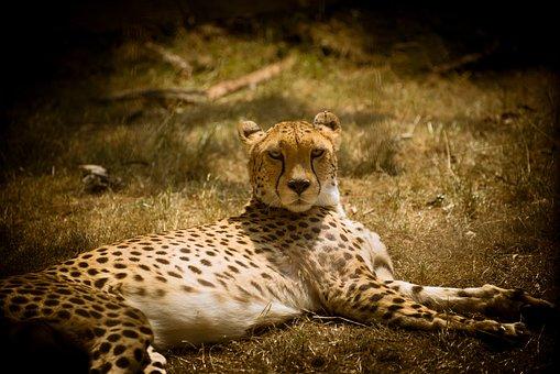 Cheetah, Cat, Predator, Big Cat, Wild Animal