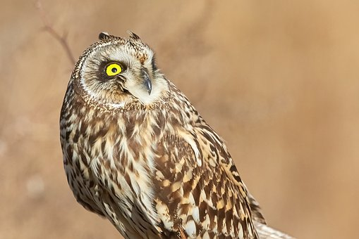 Owl, Short Eared Owl, Bird, Nature, Wildlife, Outdoors