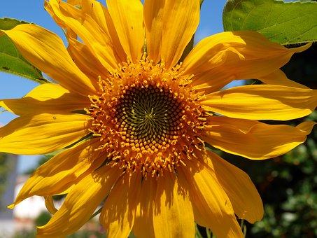 Sunflower, Petals Yellow, Yellow Flower, Petals, Garden