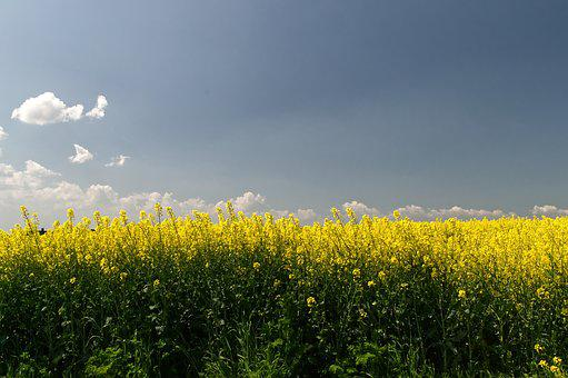 Oilseed Rape, Field, Spring, Landscape, Nature, Yellow