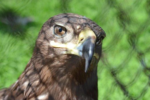 Bird, Zoo, Predator, Eagle