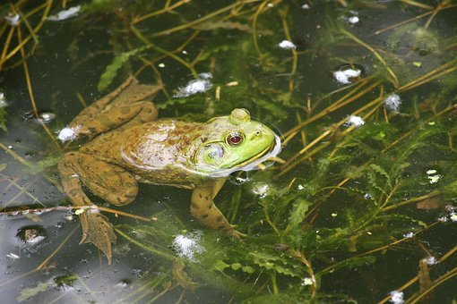 Frog, Swim, Green, Amphibian, Nature, Water, Pond
