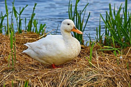 Duck, Mallard, Bird, Water Bird, Waterfowl, Animal