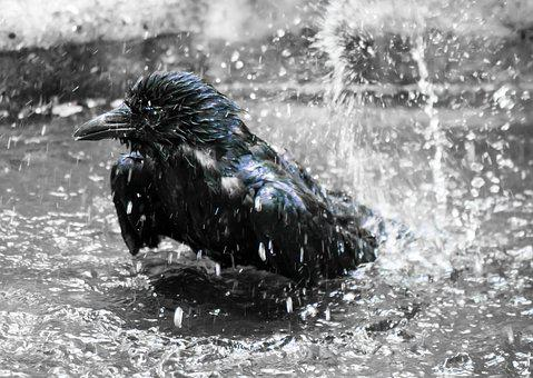 Animal World, Bird, Raven, Swim, Inject, Refreshment