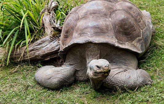 Turtle, Animal, Animal World, Nature, Giant Tortoise