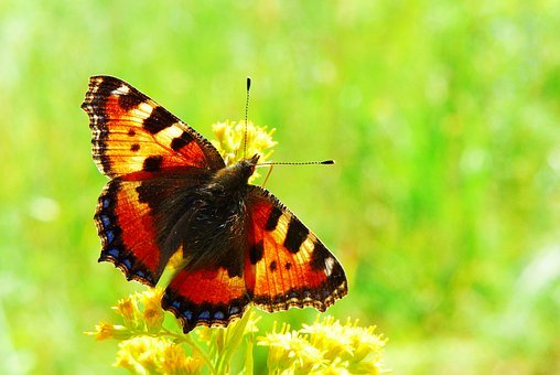Mermaid Pokrzywnik, Butterfly Day, Insect, Animals