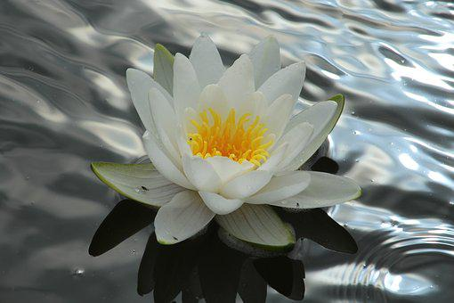 Water Lily, Nuphar Lutea, White, Aquatic Plant, Nature