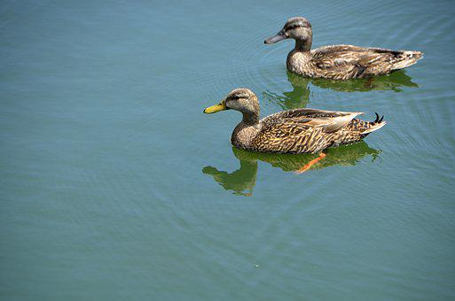 Wild Ducks, Wading, Animal, Bird, Avian, Wildlife