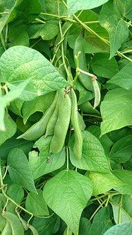 Beans, Green Beans, Vegetables, Green, Healthy, Fresh