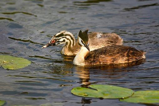 Great Crested Grebe, Waterbird, Bird, Animal, Juvenile