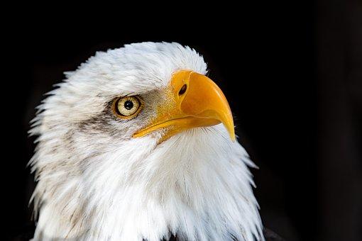Adler, Raptor, Bald Eagle, Close Up, Bird Of Prey