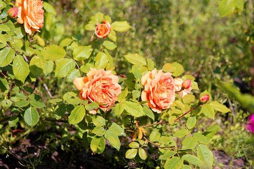 Roses, Flowers, Rose Bush, Nature, Plant, Garden, Bloom