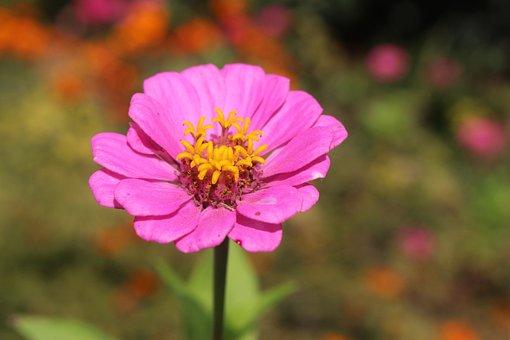 Flower, Pink, Nature, Blossom, Bloom, Plant, Spring