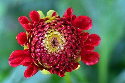 Dahlia, Blossom, Bloom, Flower, Bud, Bloom, Wet, Rain