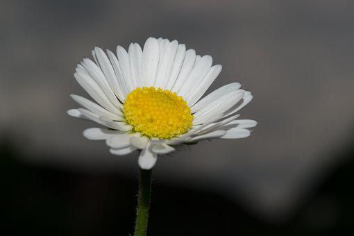 Daisy, Flower, Blossom, Bloom, Nature, Plant, Close Up