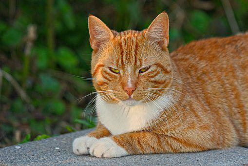 Cat, Feline, Tom Cat, Tabby, Animal, Mammal, Red