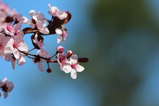 Cherry, Blossom, Tree, Pink, Spring, Flowers, Branch