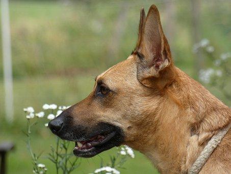 Dog, Podenco, Shepherd, Pet, Garden, Brown, Cinnamon