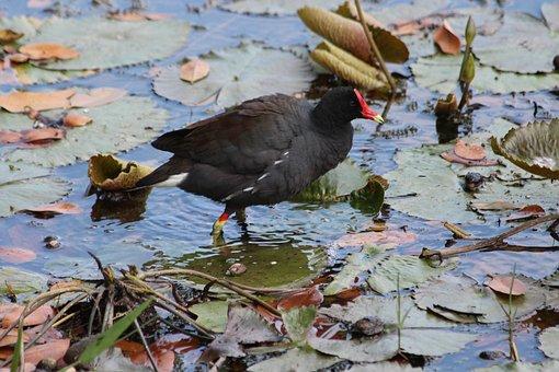Common Moorhen, Marsh Hen, Bird, Waterfowl, Animal