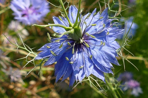 Cornflower, Flower, Plant, Flora, Field, Flower Field