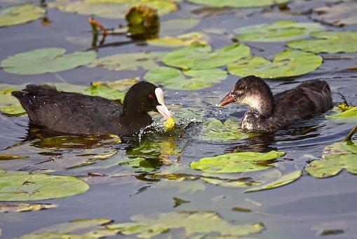 Coot, Eurasian Coot, Waterbird, Bird, Animal, Juvenile