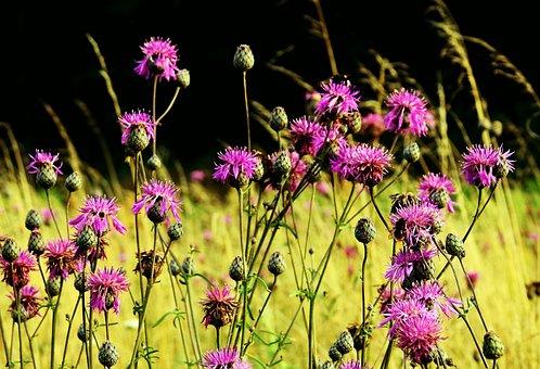 Meadow, Thistles, Figure, Purple