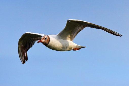 Seagull, Gull, Seabird, Bird, Animal, Flight, Flying