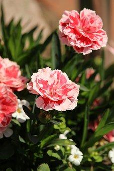 Cloves, Pink, Flowers, Romantic, Plant, Dianthus, Flora