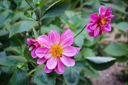 Flower, Flowers, Garden, Close-up, Color, Ker, Shrub