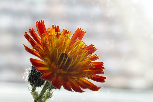 Hawkweed, Flower, Nature, Plant, Flora, Orange, Yellow