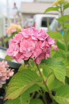 Hydrangea, Summer, Pink, Flowers, Leaf, Branch