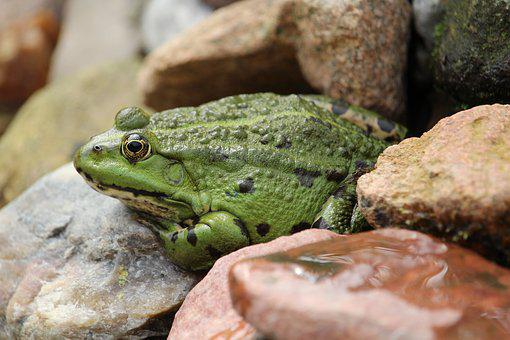 Frog, Frog Pond, Green, Animal, Pond, Water Frog, Water