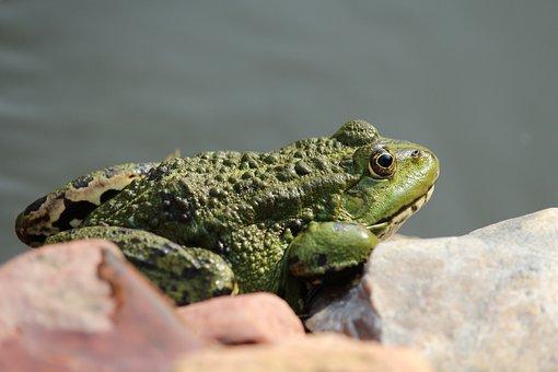 Frog, Frog Pond, Animal, Water Frog, Nature, Amphibian