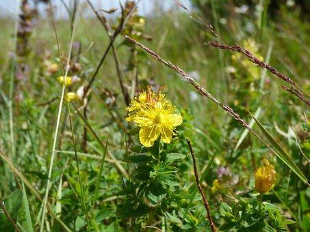 St John's Wort, Grass, Herb, Vitosha, Summer, Flowers