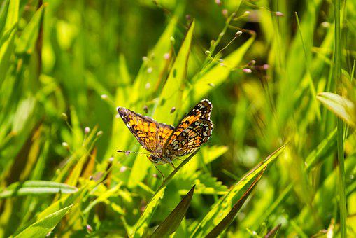 Butterfly, Insect, Grass