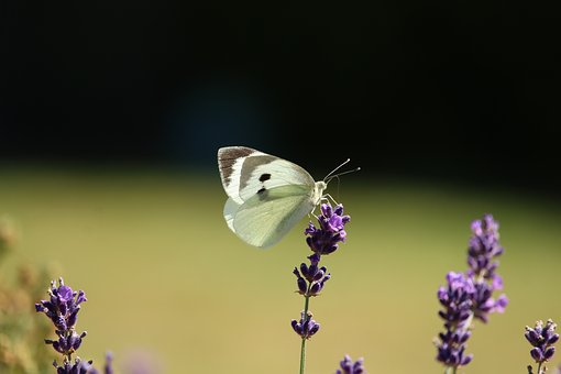 Butterfly, Lavender, Gonepteryx Rhamni, Nature, Insect