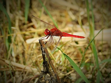 Dragonfly Red, Insect, Nature