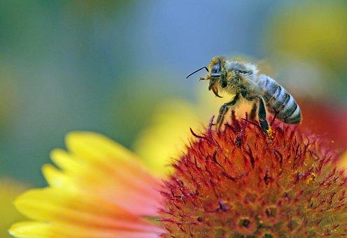 Bee, Flower, Pollen, Macro, Nature, Insect, Bloom
