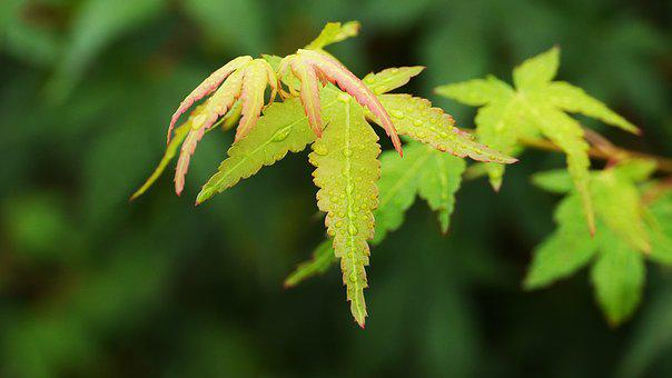 Maple Leaf, Autumn Leaves, Leaf, The Leaves, Autumn