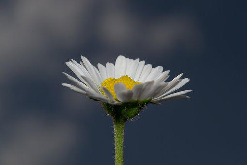 Daisy, Flower, Nature, Spring, Blossom, Bloom, Summer